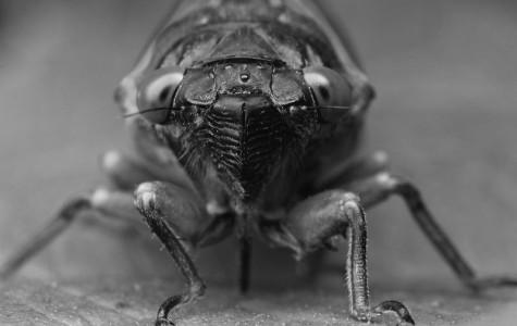 Cicadas, stinkbugs invade east coast