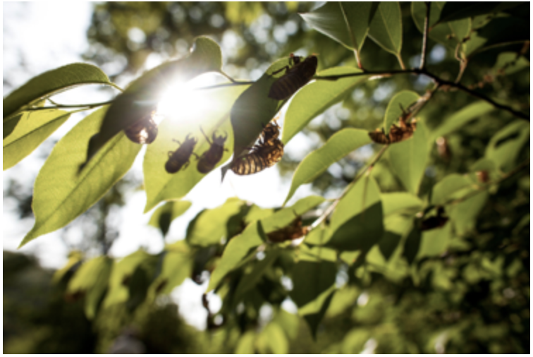 The swarm of cicadas are set to arrive in late-April in the Delmarva area. Maryland is expected to be hit the hardest with billions of bugs.