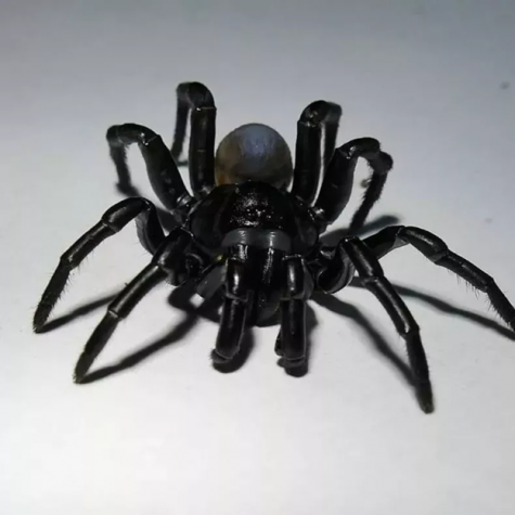 A daunting shot of the Pine Rockland trapdoor spider was captured by Zoo Miami; It's keen resemblance to a Tarantula spider can be observed.